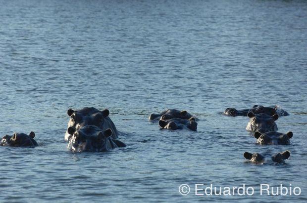 ¡ Peligro, hipopótamo..!